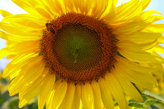 A bee on sunflower. Stock Images