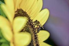 Bee on a sunflower. The bee, pictured close-up, collects the nectar in the center of the sunflower side view Royalty Free Stock Photo
