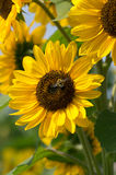 Bee on Sunflower Plant. A bumblebee harvesting nectar from sunflower plant Royalty Free Stock Photos