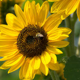 Bee on Sunflower Plant. Closeup view of bumble bee on harvesting nectar on a sunflower plant Royalty Free Stock Image