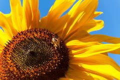 Bee on a sunflower. Polishing of flowers. Growing of agricultural crops. Bee on a sunflower. Polishing of flowers. Growing of agricultural crops Royalty Free Stock Photos