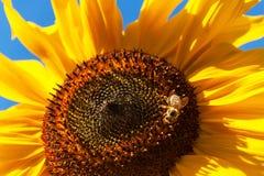 Bee on a sunflower. Polishing of flowers. Growing of agricultural crops. Bee on a sunflower. Polishing of flowers. Growing of agricultural crops Stock Photos