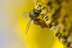 Bee on sunflower pollen Royalty Free Stock Photo