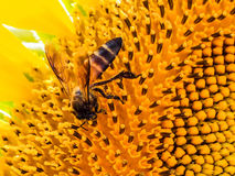 Bee on a sunflower Stock Photos