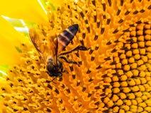 Bee on a sunflower Stock Photos