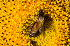 Bee on sunflower pollen Royalty Free Stock Images