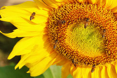 Bee and sunflower Royalty Free Stock Photos