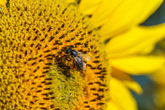 Bee on the sunflower Royalty Free Stock Image