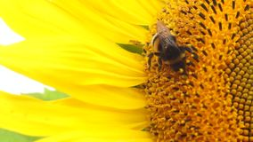 Bee on a sunflower Royalty Free Stock Photo