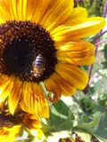 Bee on sunflower. Bee sitting on sunflower Stock Photography