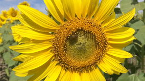 Bee on sunflower slow motion stock video footage