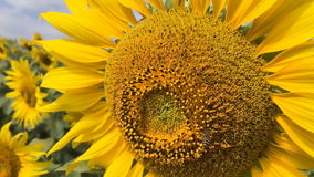 Bee on sunflower slow motion stock footage