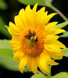 Bee on a sunflower Stock Photography