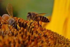 Bee and sunflower Stock Photo