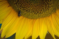 A bee on a sunflower Royalty Free Stock Photography