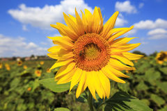 Bee on sunflower. A bee on sunflower in a sunny day Stock Images
