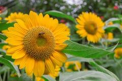 Bee on sunflower. Royalty Free Stock Photos