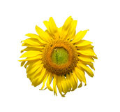 Bee and sunflower on white Stock Image