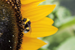 Bee in the sunflower. Bee working to make honey in a  great sunflower Royalty Free Stock Photo