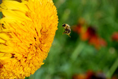 Bee on a sunflower Royalty Free Stock Photos