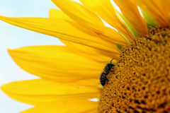 Bee on a sunflower. Bee on a yellow sunflower Royalty Free Stock Image