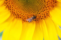 Bee on a sunflower Royalty Free Stock Photography