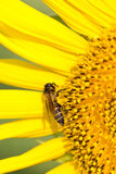 Bee On Sunflowers. Stock Photo