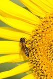 Bee On Sunflowers. Stock Photo