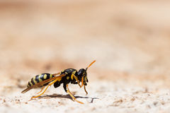 Bee in a sunny day Royalty Free Stock Photo