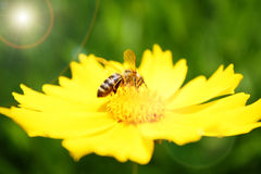 Bee on sunny yellow flower Stock Photography