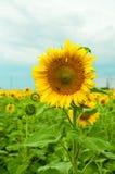 Bee on sunwlofer Stock Photography