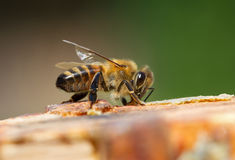 Bee on a surface. Royalty Free Stock Photo