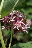Bee on a swamp milkweed flower. Collecting nectar with its proboscis royalty free stock images