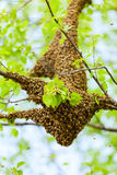 Bee swarm Royalty Free Stock Photos