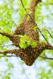 Bee swarm Royalty Free Stock Photos