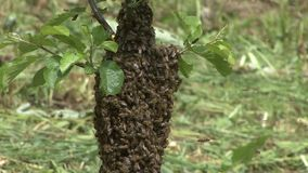 Bee swarm stock footage