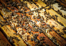 Bee swarm Royalty Free Stock Images