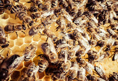Bee swarm Royalty Free Stock Photography