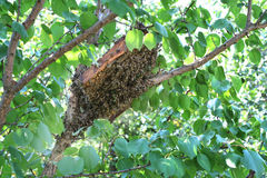 The bee swarm flew out of the bee nest on a tree. Stock Photography