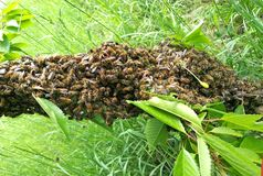 Bee swarm gathering at the branch of a tree Royalty Free Stock Images