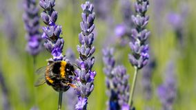 A bee swarm purple lavender flower royalty free stock images