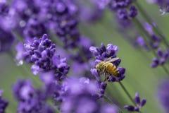 A bee swarm purple lavender flower in lavender field. Furano, Hokkaido, Japan stock images