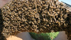 Reproduction of bees. beekeeper caught the bees. Bee swarm royalty free stock photography