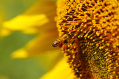 Bee swarm sunflower Royalty Free Stock Image