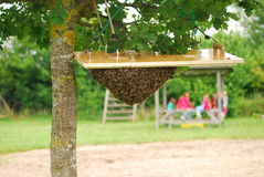 Bee swarm surrounds a queen bee. A bee swarm waiting to be relocated hangs around its queen bee Royalty Free Stock Photo