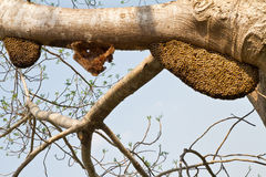 Bee swarm on tree. And blue sky stock image
