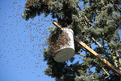 Bee swarm on a tree Royalty Free Stock Image