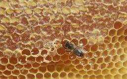 Bee and sweet honey. Stock Photos