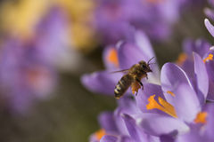 The bee - symbol of the spring Stock Image