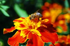 Bee on the tagete flower Stock Photos